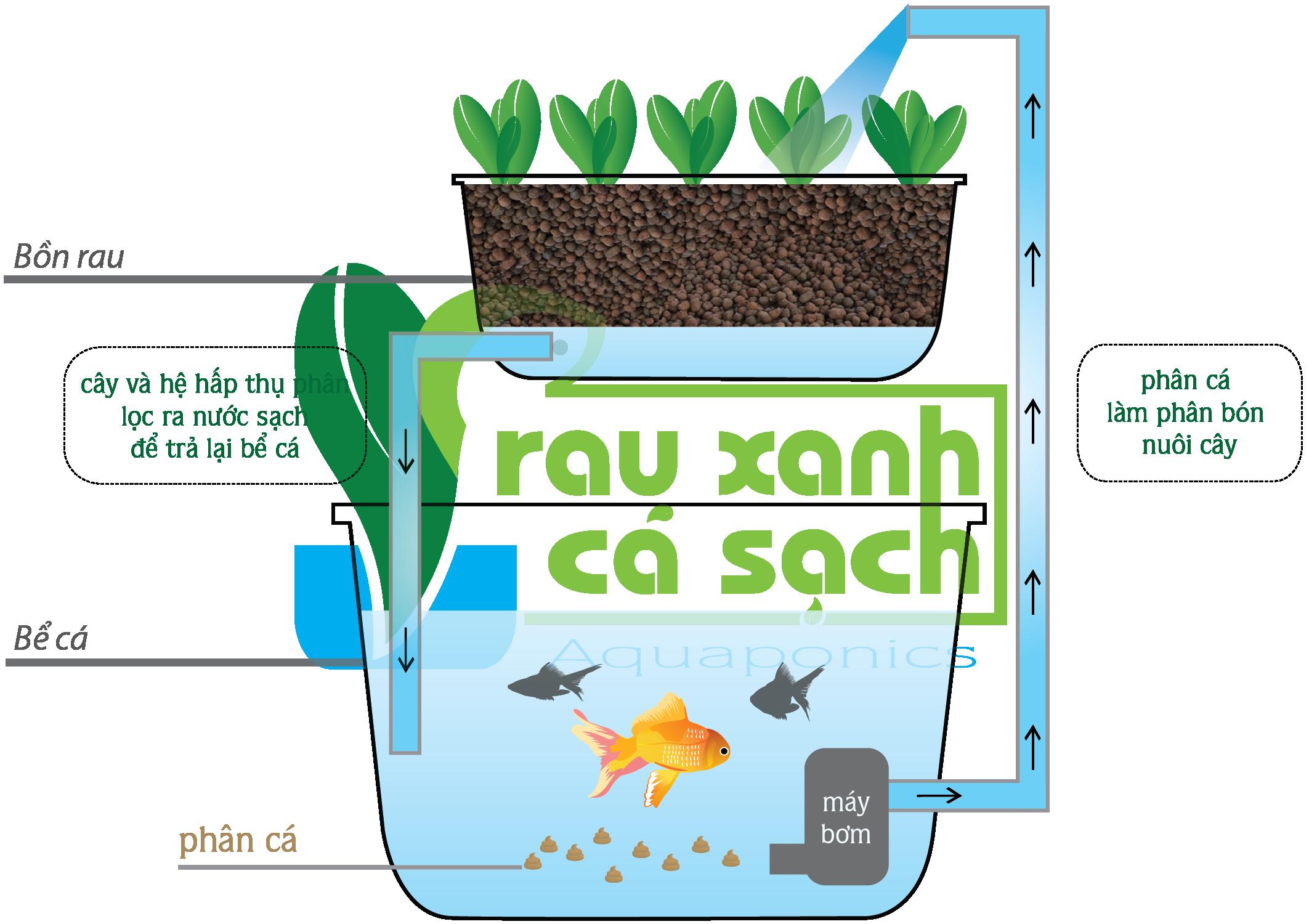 Dịch vụ trồng rau Aquaponics và rau thủy canh tại nhà