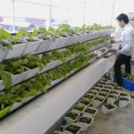 Quy trình trồng rau sạch tại nhà đơn giản, dễ làm