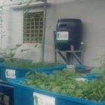 Mô hình rau xanh cá sạch trên sân thượng nhà phố