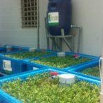 Trồng rau xanh cá sạch tại nhà đơn giản