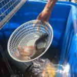 Nên nuôi cá gì trong hệ Aquaponics