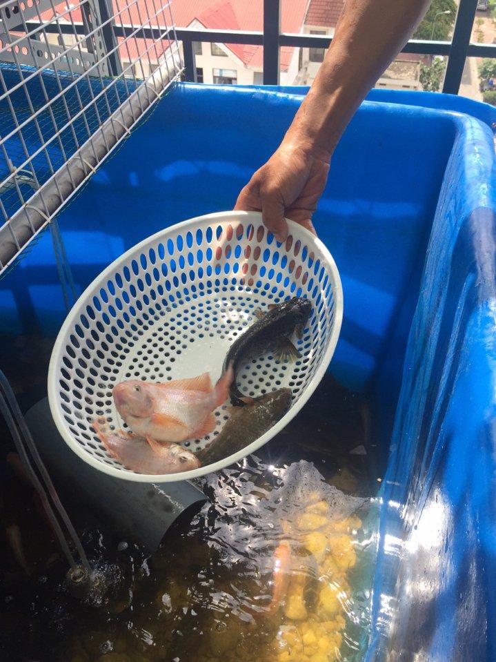 thu hoạch cá trong hệ Aquaponics