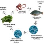 Mô hình nuôi cá trồng rau của hệ Aquaponics