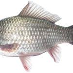 Những loại cá nước ngọt cực tốt cho sức khỏe