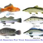 Chất thải của cá trong hệ Aquponics