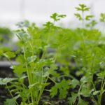 Cách trồng ngò rí trong vườn rau sạch