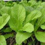Cách trồng rau cải bẹ xanh