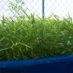 Các giai đoạn phát triển của cây trồng hệ Aquaponics