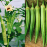 Hướng dẫn cách trồng đậu bắp trên sân thượng