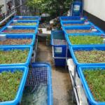 Khay trồng trong hệ Aquaponics