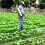 Nguyên nhân và tác hại gây mất vệ sinh và an toàn trên rau