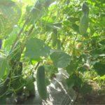 Phương pháp phòng ngừa sâu bệnh trên cây dưa leo