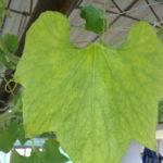 Các biện pháp xử rau sạch trồng tại nhà khi rau bị vàng lá