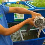 Rau sạch và cá sạch Aquaponics là thế nào?