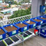 Tận dụng sân thượng để trồng rau nuôi cá