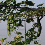 Hệ thống Aquaponics nên trồng rau gì?