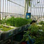 Dịch vụ trồng rau tại nhà của hệ Rau xanh cá sạch