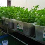 Vườn rau xanh cá sạch – Đảm bảo sức khỏe cho gia đình