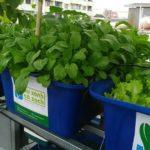 Giải pháp trồng rau sạch trên sân thượng cho nhà phố