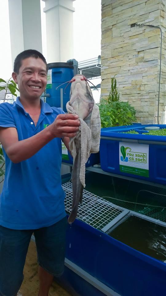 Cá sạch được nuôi trong hệ thống vườn rau sạch Aquaponics1