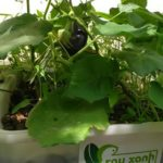 Các loại cây trồng thích ứng với hệ thống Aquaponics