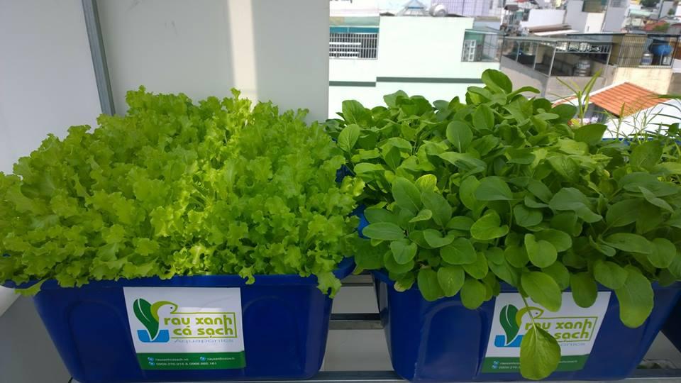 Cách trồng các loại rau sạch tươi xanh cho gia đình bạn
