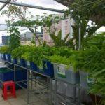 Công nghệ trồng rau sạch nuôi cá sạch qua hệ thống Aquaponics