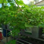 Hướng dẫn cách trồng các loại rau hữu cơ tại nhà