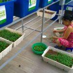 Hướng dẫn cách trồng rau mầm Aquaponics tại nhà