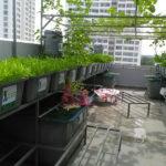 Kỹ thuật trồng rau sạch và chăm sóc rau trên sân thượng