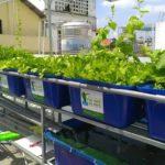 Rau sạch tươi xanh của hệ thống rau xanh cá sạch Aquaponics