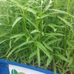 Tại sao nên lắp đặt giàn rau sạch hữu cơ và giàn rau sạch Aquaponics