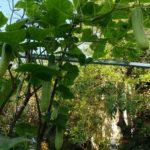 Thu hoạch giàn Rau xanh cá sạch Aquaponics tại nhà