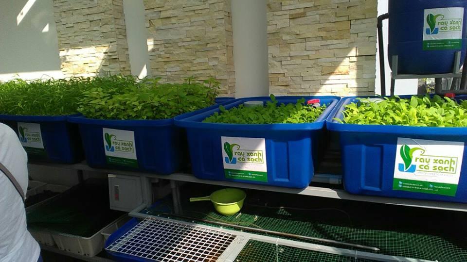 Trồng rau nuôi cá Aquaponics phủ xanh sân thượng2