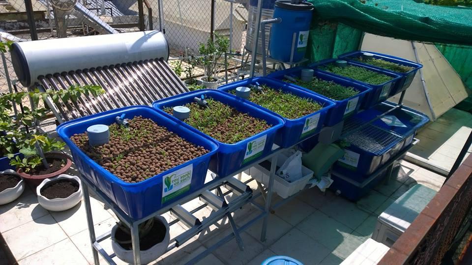 Vườn rau xanh cá sạch Aquaponics trên sân thượng chưa đầy 10m21