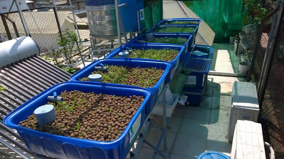 Vườn rau xanh cá sạch Aquaponics trên sân thượng chưa đầy 10m22