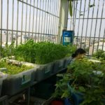 Vườn rau xanh sạch trên không giữa thành phố nhộn nhịp