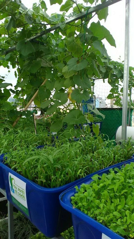 rau-muong-dua-leo-organic-trong-he-aquaponics