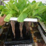 Các bước trồng rau thủy canh tại nhà