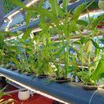 Mô hình trồng rau thủy canh tại nhà