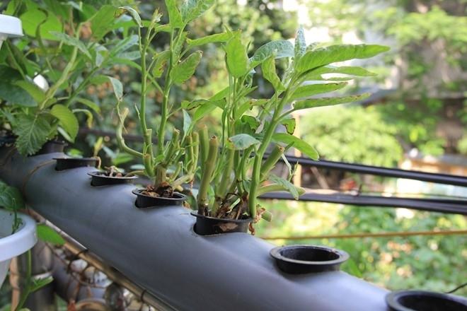 Phương pháp trồng rau thủy canh tại nhà11