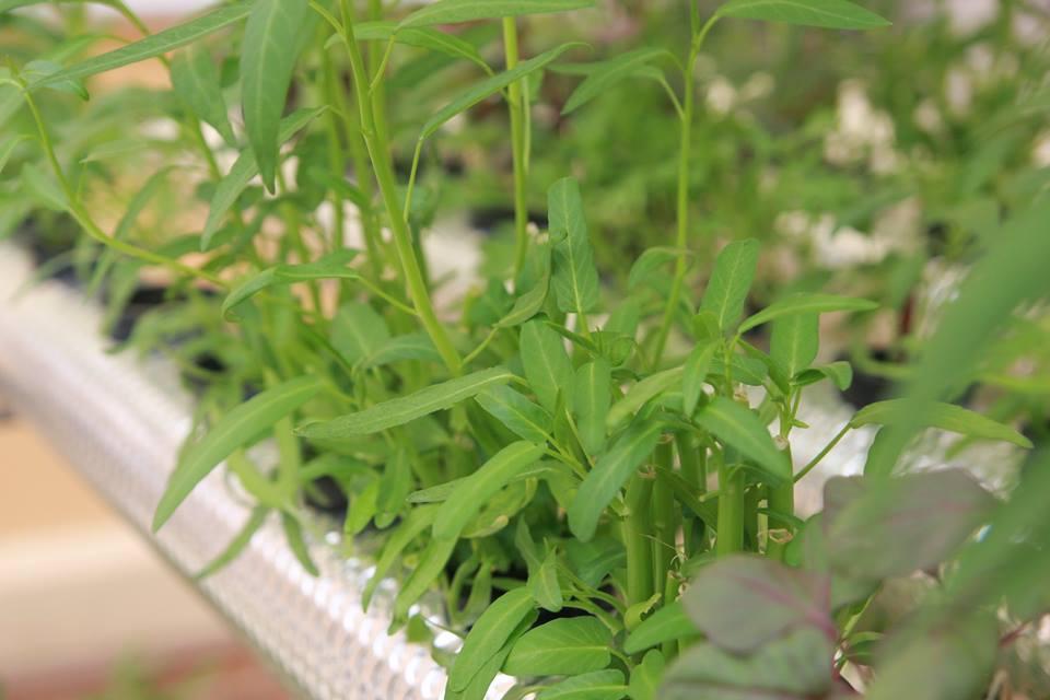Phương pháp trồng rau thủy canh tại nhà12