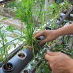 Phương pháp trồng rau thủy canh tại nhà