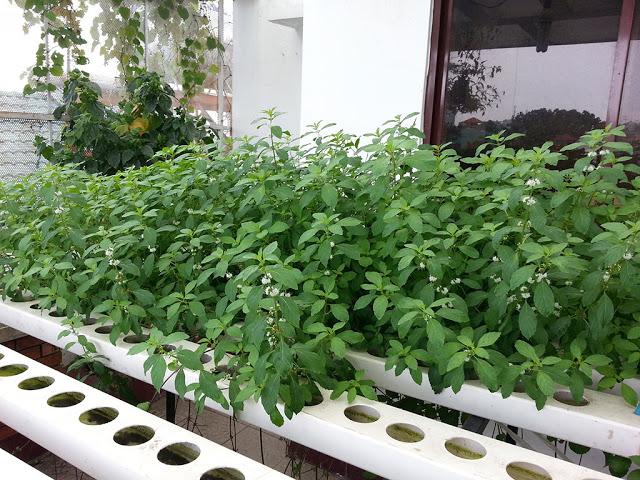 Phương pháp trồng rau thủy canh tại nhà7