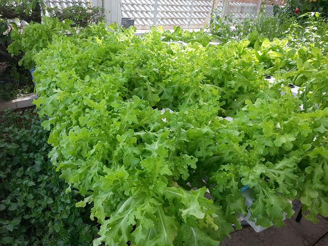 Phương pháp trồng rau thủy canh tại nhà8