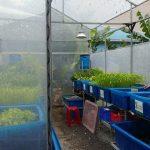 Giải pháp trồng rau sạch Aquaponics trong nhà kín