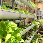 Trồng rau thủy canh tại nhà có rau ăn hay không?