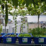 Giàn rau sạch Aquaponics trên sân thượng nhà phố