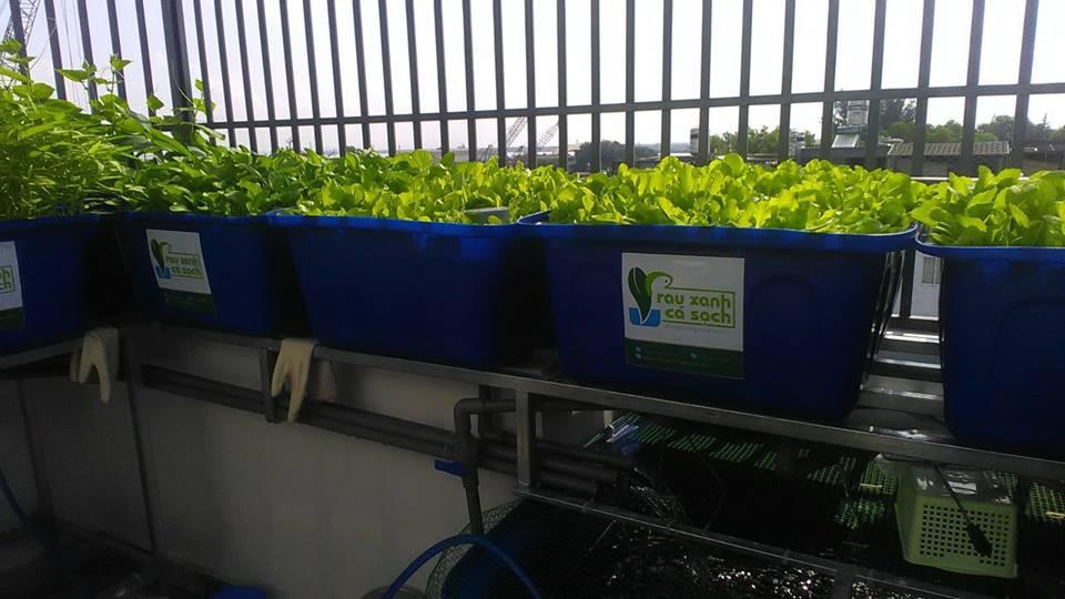 Giới thiệu hệ thống trồng rau Aquaponics trên sân thượng1