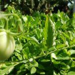 Cà chua và cây LỦI trên hệ RXCS Aquaponics!